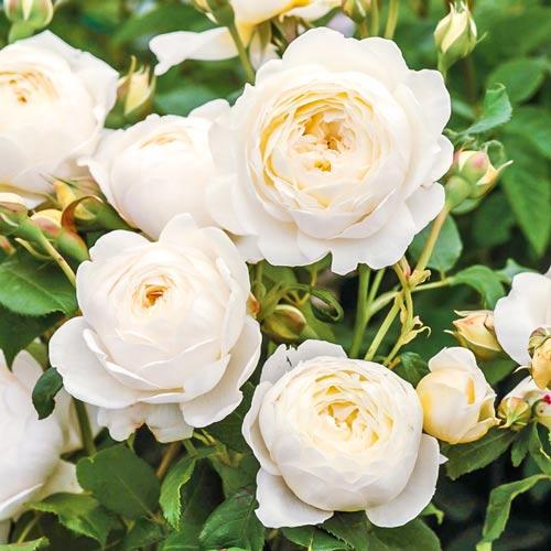 Роза Клер Остин 1