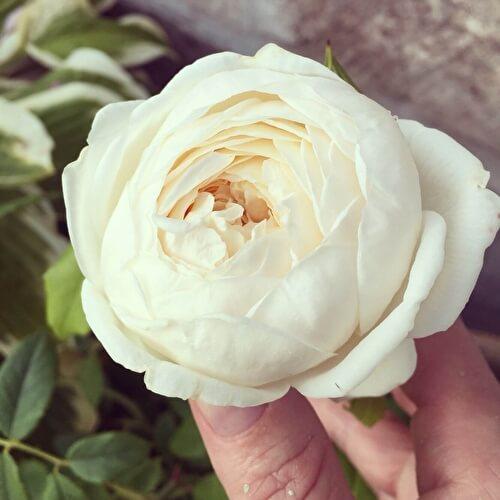 Роза Клер Остин 2