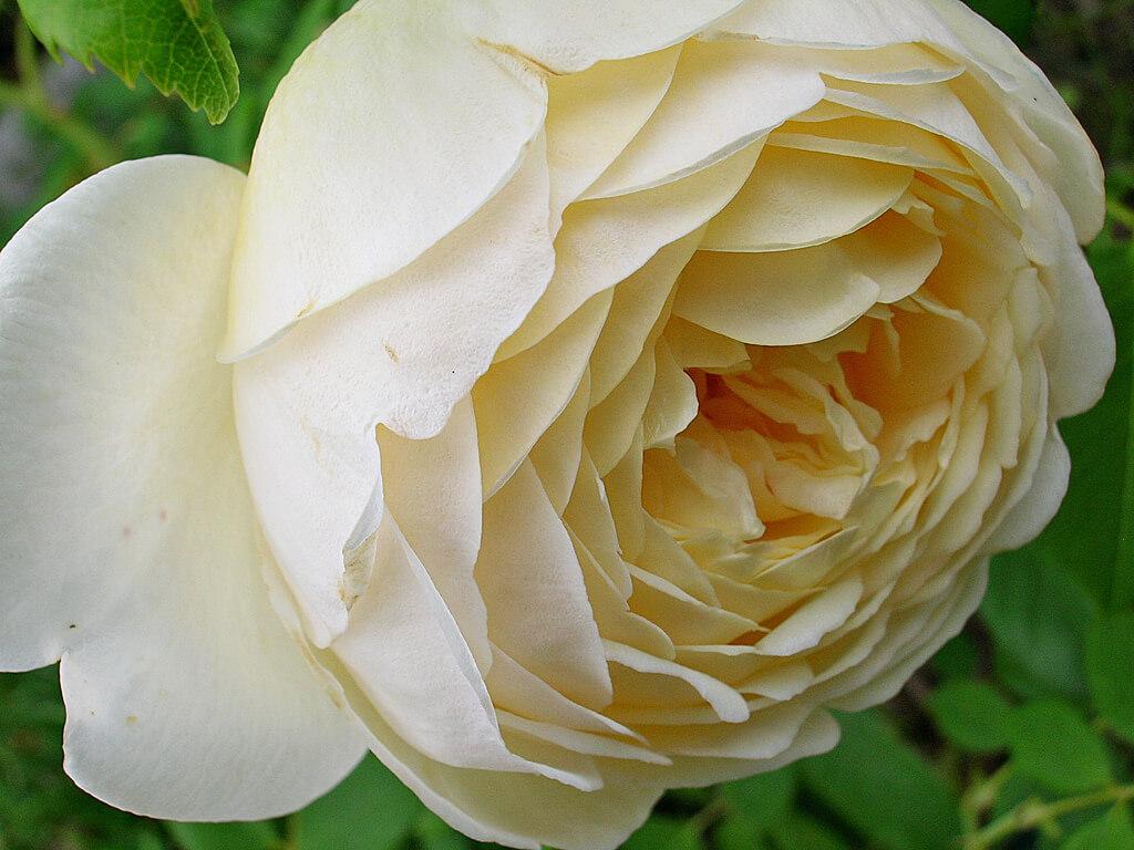 Роза Клер Остин 4