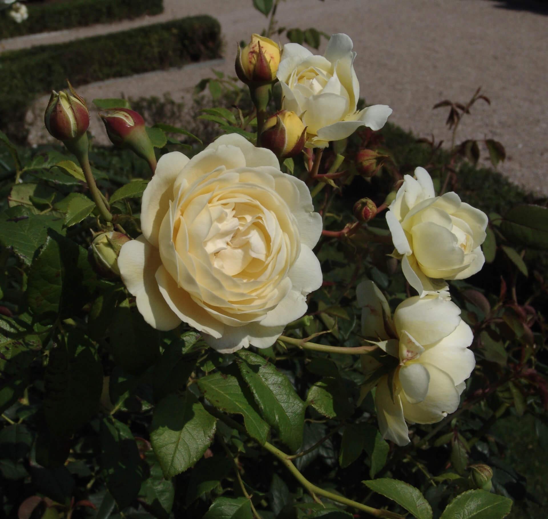 Роза Клер Остин 3