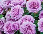 Роза Лав Сонг