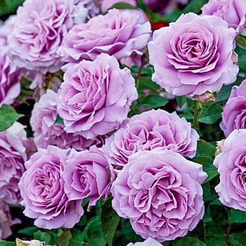 Роза Лав Сонг 1