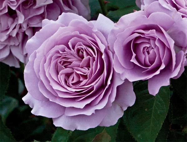 Роза Лав Сонг 2