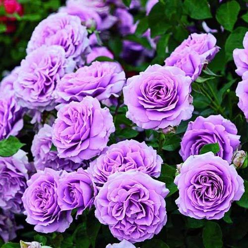 Роза Лав Сонг 3