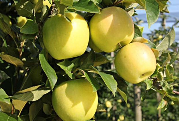 Яблоня Малюха 1