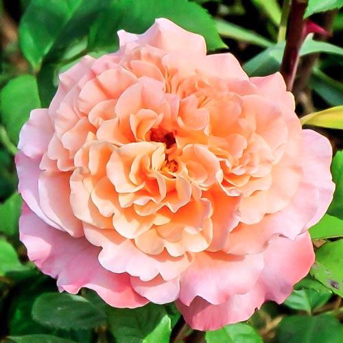 Роза Августа Луиза изображение 1