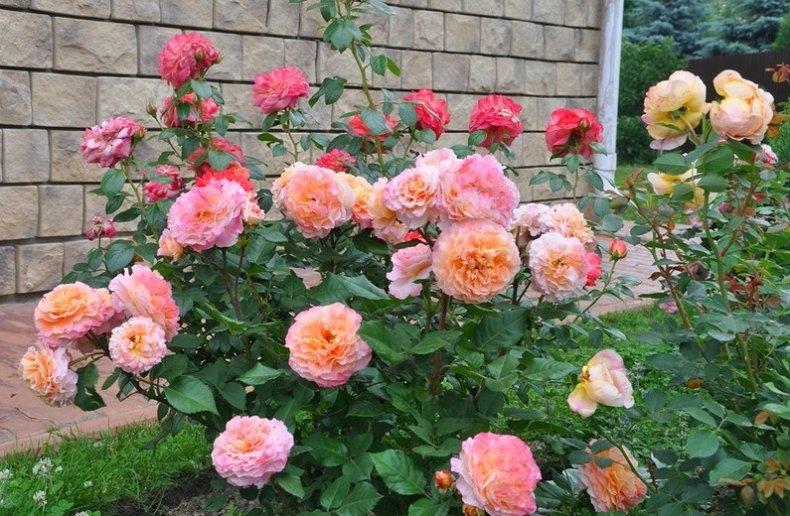 Роза Августа Луиза изображение 2