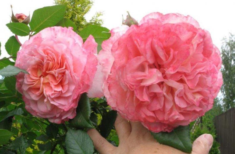 Роза Августа Луиза изображение 4