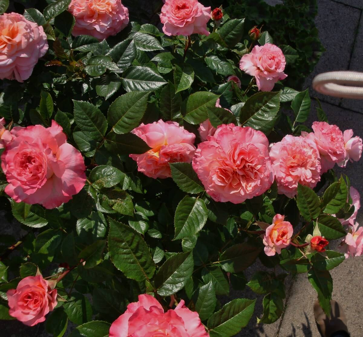 Роза Августа Луиза изображение 3