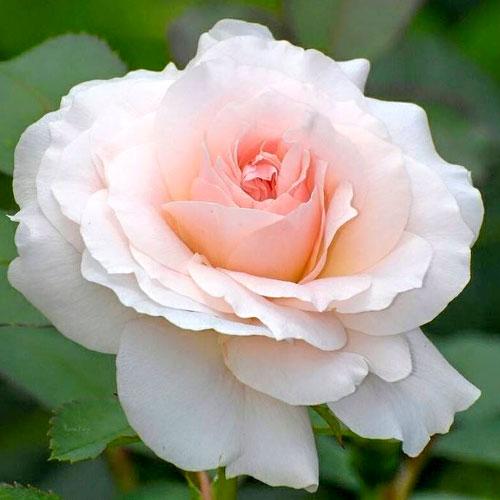 Роза Сильвия 1