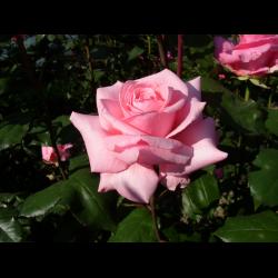 Роза Сильвия 2