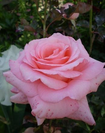 Роза Сильвия 4