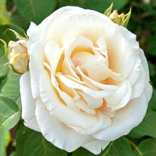 Роза Шопен изображение 1