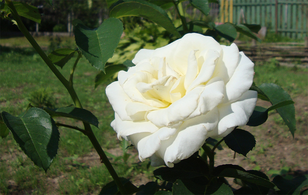 Роза Шопен изображение 2