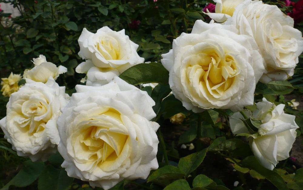 Роза Шопен изображение 4