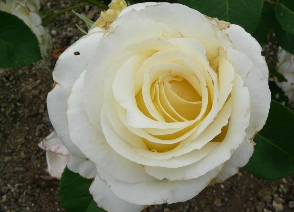Роза Шопен изображение 3