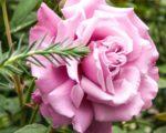 Роза Аметист