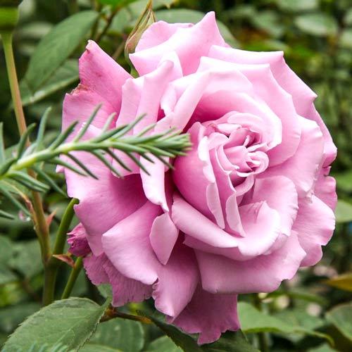 Роза Аметист 1