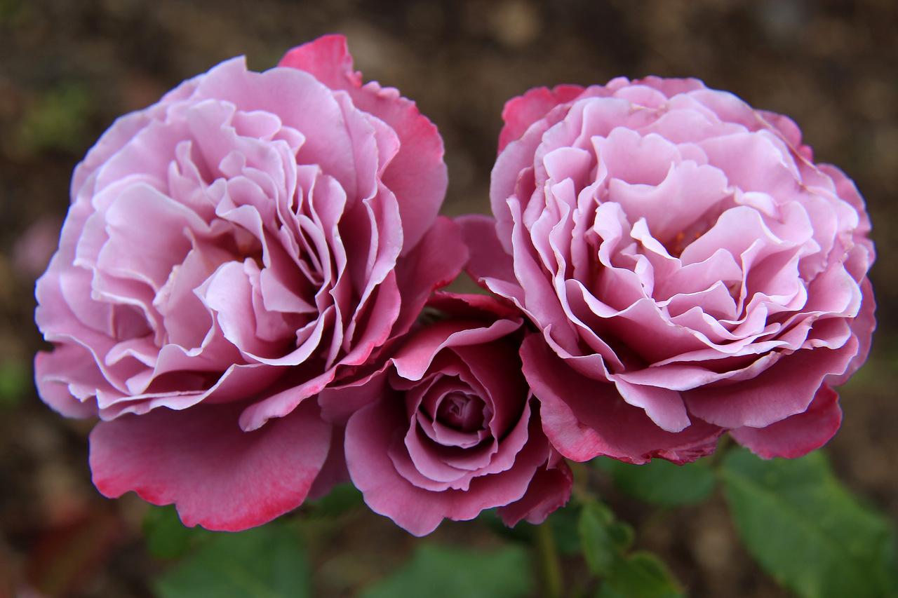 Роза Аметист 2