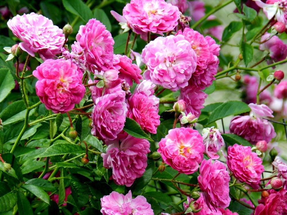Роза Аметист 4