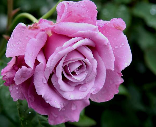 Роза Аметист 3