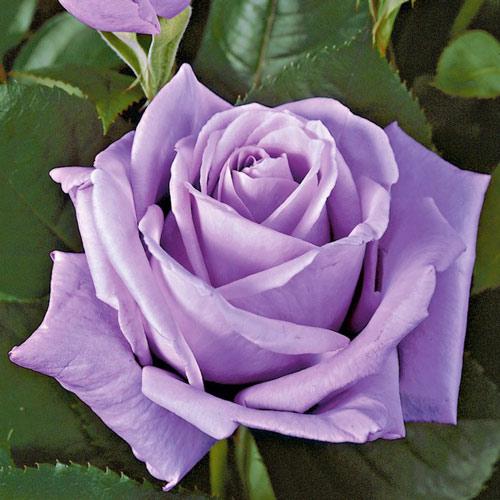 Роза Эминенс изображение 2