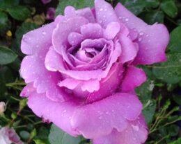 Роза Эминенс