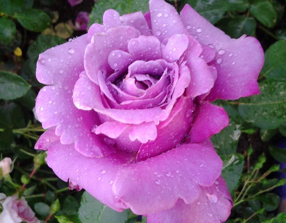 Роза Эминенс изображение 1