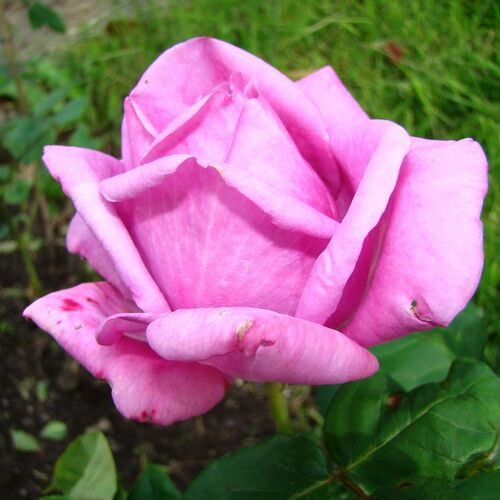 Роза Эминенс изображение 4