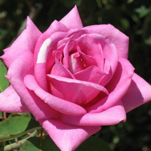 Роза Эминенс изображение 3