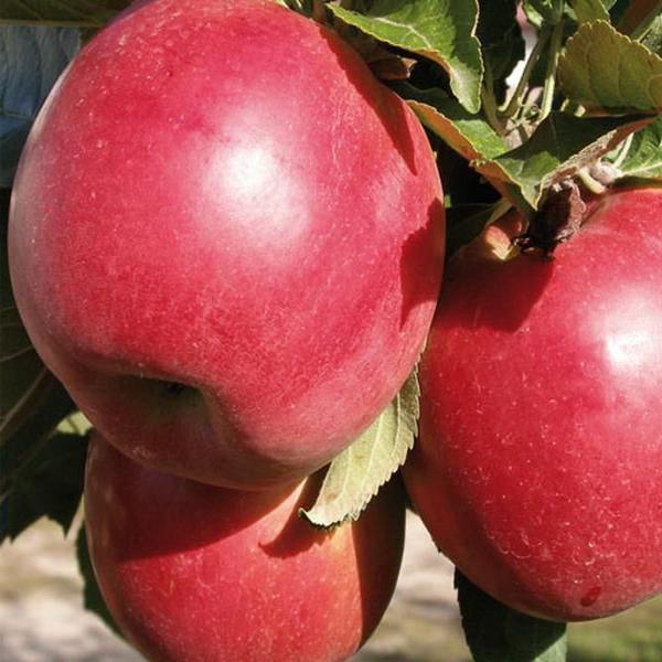 Яблоня Китайка Красная 1
