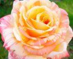 Роза Марвел