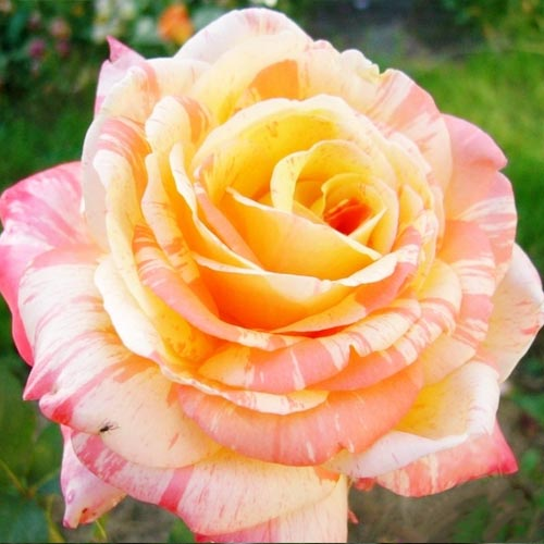 Роза Марвел 1