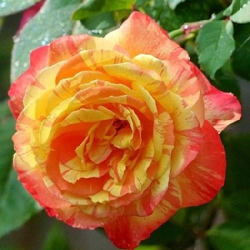 Роза Марвел 4
