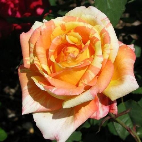 Роза Марвел 3