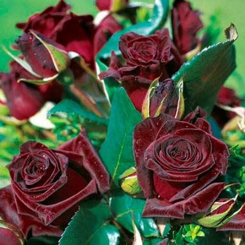 Роза Роял Баккара 1