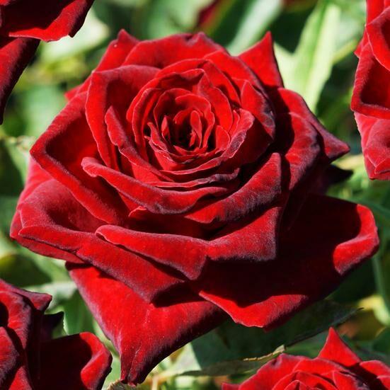 Роза Роял Баккара 2