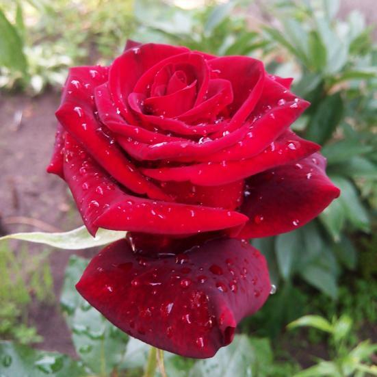 Роза Роял Баккара 4