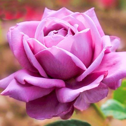 Роза Блю Парфюм изображение 1