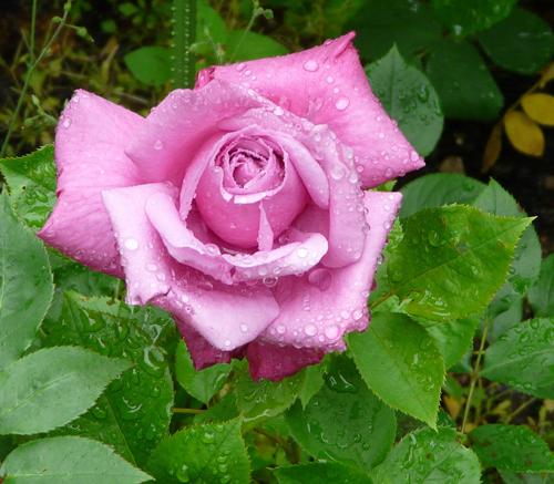 Роза Блю Парфюм изображение 2