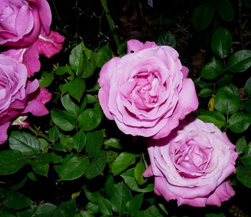 Роза Блю Парфюм изображение 4