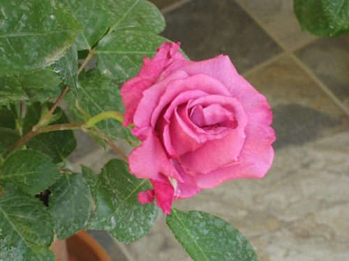 Роза Блю Парфюм изображение 3