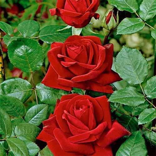 Роза Ред Берлин 2