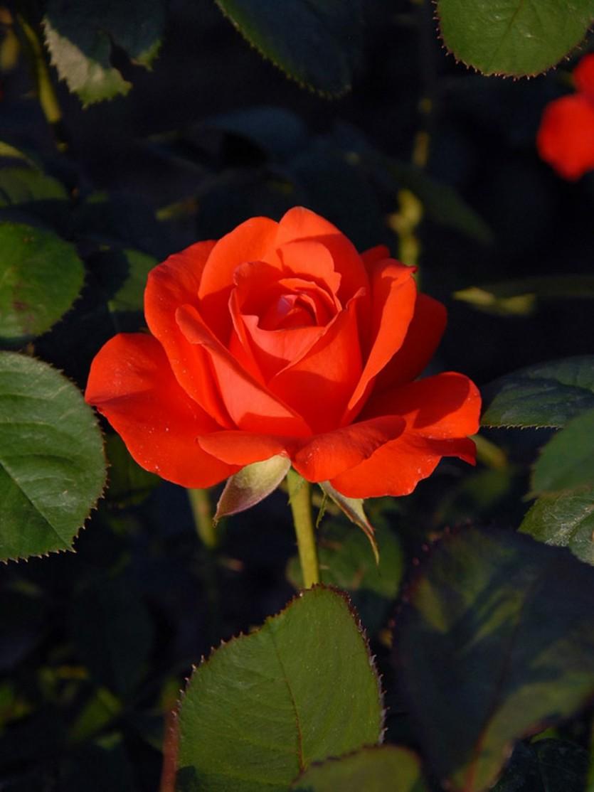 Роза Ред Берлин 3