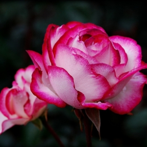 Роза Атлас 2