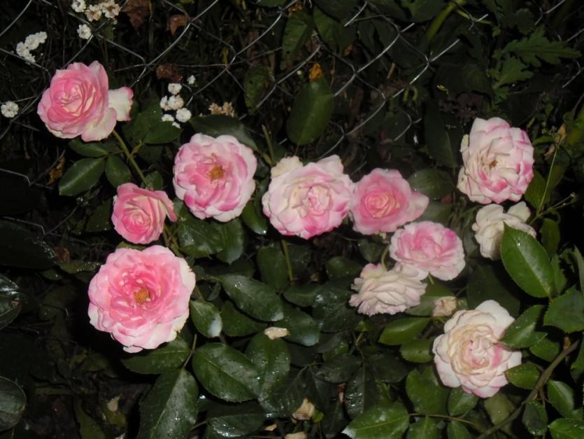 Роза Атлас 4