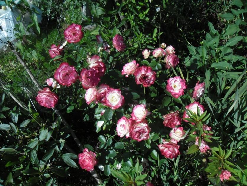Роза Атлас 3