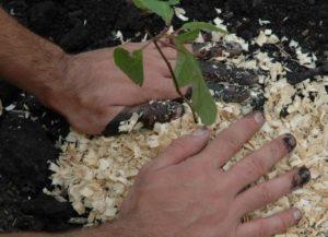 Лимонник садовый – секреты посадки, ухода и выращивания.