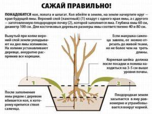 Как правильно посадить крупномеры - рекомендации по посадке и уходу
