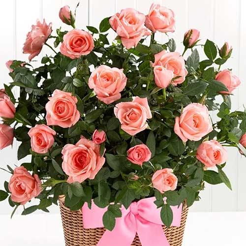 Роза Лидия изображение 2